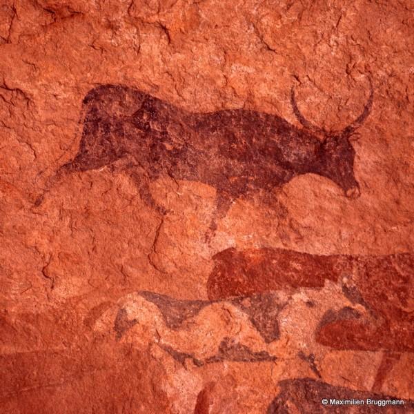 438 Jabbaren (Tassili-n'Ajjer). — Détail. Fresque de bovidés de l'époque pastorale peinte à l'ocre rouge et à la peinture blanche. Il y a une prépondérance de mâles. On peut supposer que, dès cette époque, la castra¬tion était connue mais on ignore quelle économie présidait à la gestion de ces grands troupeaux. Le panneau représenté mesure 1,85 m de large.