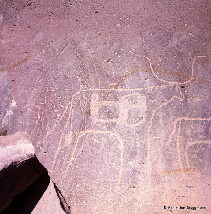 656 Gonoa (Tibesti). — Sur une belle fresque de huit girafes finement gravées, un bovidé piqueté, plus tardif. A l'intérieur du bovidé, une structure inexpli-cable, l'homme très petit qui se tient devant la première girafe, à gauche, mesure 0,14 m de hauteur.