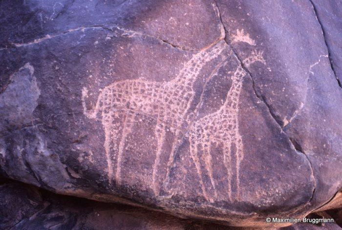 25 Tagueït bas (Aïr). — Epoque pastorale. Dans le Sahel, à proximité des vaches domestiques, les girafes ne sont pas rares. Leur abondance ne doit donc pas surprendre. Se souvenir de la nature grumeleuse des roches de l'Aïr. Hauteur de la grande girafe : 0,65 m.