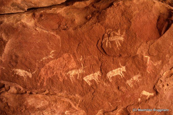 121 Enneri Blaka. Site 10. — Autre vue du plafond peint à l'époque pastorale. L'existence d'un vaste troupeau de bovidés n'empêche pas celle d'animaux sauvages comme l'éléphant dont on voit ici un exemple peint de couleur rouge-rose. Les bovidéssont blancs. Un boeuf est monté par un personnage qui semble (?) le guider à l'aide d'une corde. L'éléphant mesure 0,41 m de longueur.