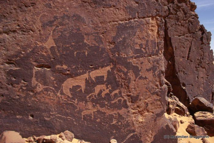 116 Enneri Blaka. Site 10. — Gravures par piquetage. Fin de l'époque pastorale. Girafes, bovidés, ongulés. Le panneau figuré a 2,20 m de largeur. Depuis cette photo (1968), cette paroi a été recouverte par les dunes.