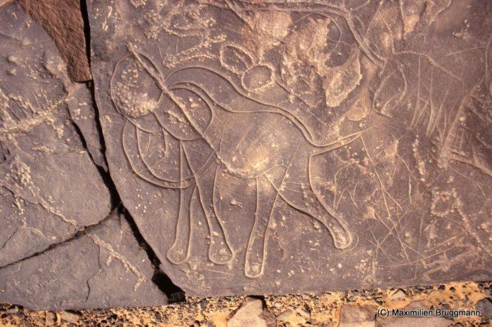 135 Confluent Blaka-Domo. Site 12. — Epoque bubaline. Eléphant gravé. L'un des deux traits délimitant le dos est une esquisse abandonnée ; signe vulvaire piqueté. Largeur du panneau représenté : 0,66 m.