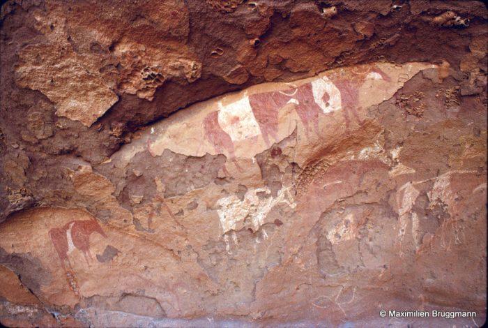 321 Ouan Adjane (Tadrart). — Plafond d'abri avec bovidés peints à deux couleurs. Largeur du panneau représenté : 0,95 m.