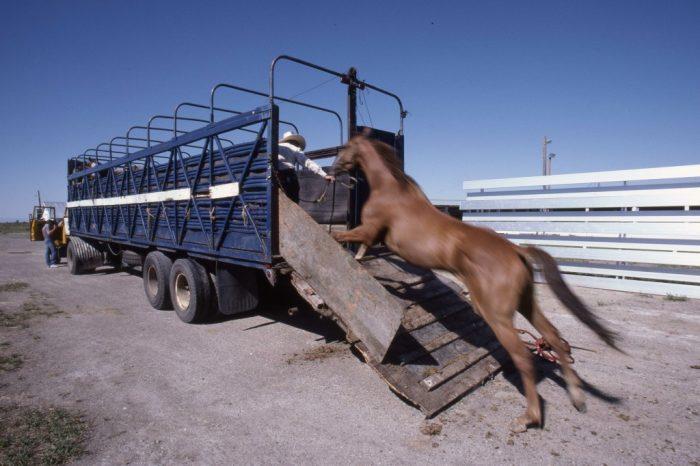 """La route sera longue: plus de 1200 kilomètres que les chevaux parcourront à bord de leur """"char""""."""